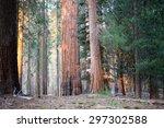 Evening Light On Giant Sequoia...