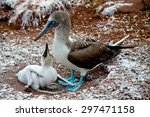 Blue Footed Booby With Booby...