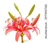 beautiful pink lily flower... | Shutterstock . vector #297493760