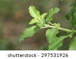 basil | Shutterstock . vector #297531926