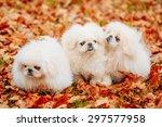 White Pekingese Pekinese Peke...