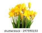 bouquet of yellow wild tulips...   Shutterstock . vector #297590153
