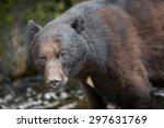 Black Bear Takes A Break From...