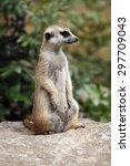 meerkat  suricata suricatta  ... | Shutterstock . vector #297709043
