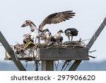 Family Of Osprey On The Nest