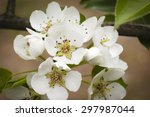 Wild Pear Blossoms