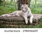 bengal white tiger lying down... | Shutterstock . vector #298046609
