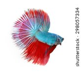 betta fish  siamese fighting... | Shutterstock . vector #298057334