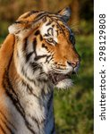 Small photo of Beautiful big tiger wild cat with striped fur and long whiskers