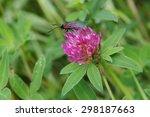 Zygaena Moth On A Red Clover ...