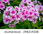 Pink Phlox Flower   Genus Of...