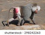 Old Male Hamadryas Baboon ...