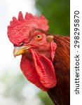 close up of a rhode island red... | Shutterstock . vector #298295870