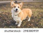 Pembroke Welsh Corgi  Dog Wels...