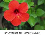 a red hibiscus flower | Shutterstock . vector #298496684