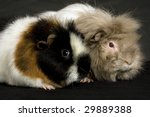 Abyssinian And Teddy Guinea Pigs