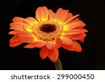 side view of the orange yellow... | Shutterstock . vector #299000450