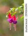 Fuchsia Magellanica ...