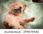 Stock photo brown chihuahua puppy is sleeping on mattress 299079440