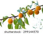 Ripe Apricots Growing On The...