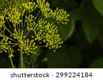 Flower Of Green Dill  Fennel ....