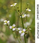 Small photo of Common Water-plantain - Alisma plantago-aquatica�  Marsh Plant
