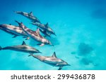 A Pod Of Spinner Dolphins   ...