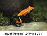 Small photo of Splash-backed poison frog (Adelphobates galactonotus). Wildlife animal.