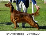 Irish Setter Poses For The...
