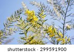 Small photo of Australian wattle background, Winter and spring yellow wildflowers, Acacia fimbriata commonly known as the Fringed Wattle or Brisbane Golden Wattle