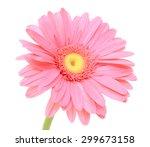 Beautiful Pink Gerbera Flower...