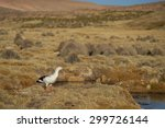 Small photo of Male Andean Goose (Chloephaga melanoptera) on a mashy plain on the Altiplano of northern Chile in Lauca National Park.
