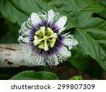 Flower Passiflora Edulis ...