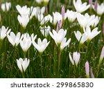 rain lily field | Shutterstock . vector #299865830