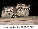 Four Cute Baby Raccoon Sitting...