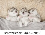 Stock photo three of siberian husky puppies sleeping under a grey blanket 300062840