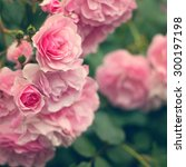 Stock photo pink roses in the garden soft focus 300197198