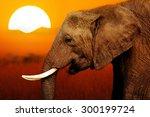 elephant at african sunset...   Shutterstock . vector #300199724