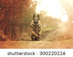 beautiful young german shepherd ... | Shutterstock . vector #300220226