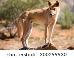 An alert wild dingo near Alice Springs, Northern Territory, Australia