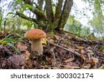 Small photo of Russia.The suburbs of Moscow.Morning in the forest. Porcini in the grass. Porcini on the background of trees. Boletus edulis (English: cep, penny bun, porcino, or king bolete, usually called porcini)