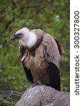 Portrait Of A Griffon Vulture ...