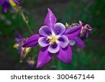 Beautiful Purple Aquilegia....
