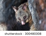 Common Brushtail Possum ...