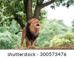 Roaring Adult Lion.