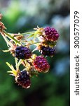 blackberry bush in the garden | Shutterstock . vector #300577079