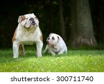 Stock photo puppy and adult dog playing outside bulldog puppy months and adult years 300711740