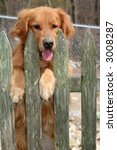 golden retriever standing up behind fence - stock photo