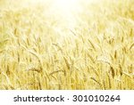 fields of wheat at the end of... | Shutterstock . vector #301010264