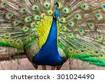 Portrait Of Peacock With...